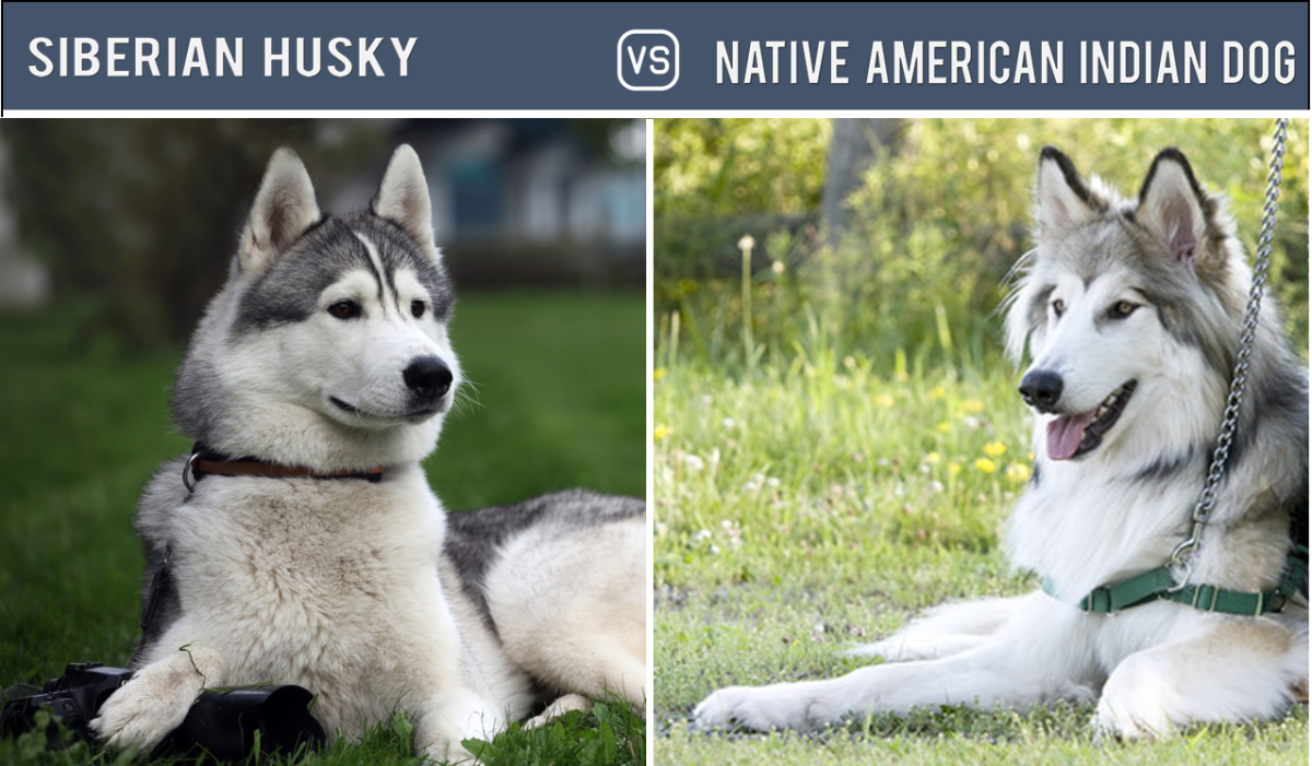 Husky Vs Native American Indian Dog