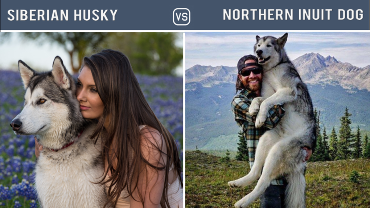 Husky Vs Northern Inuit Dog (Dogs Like Husky)