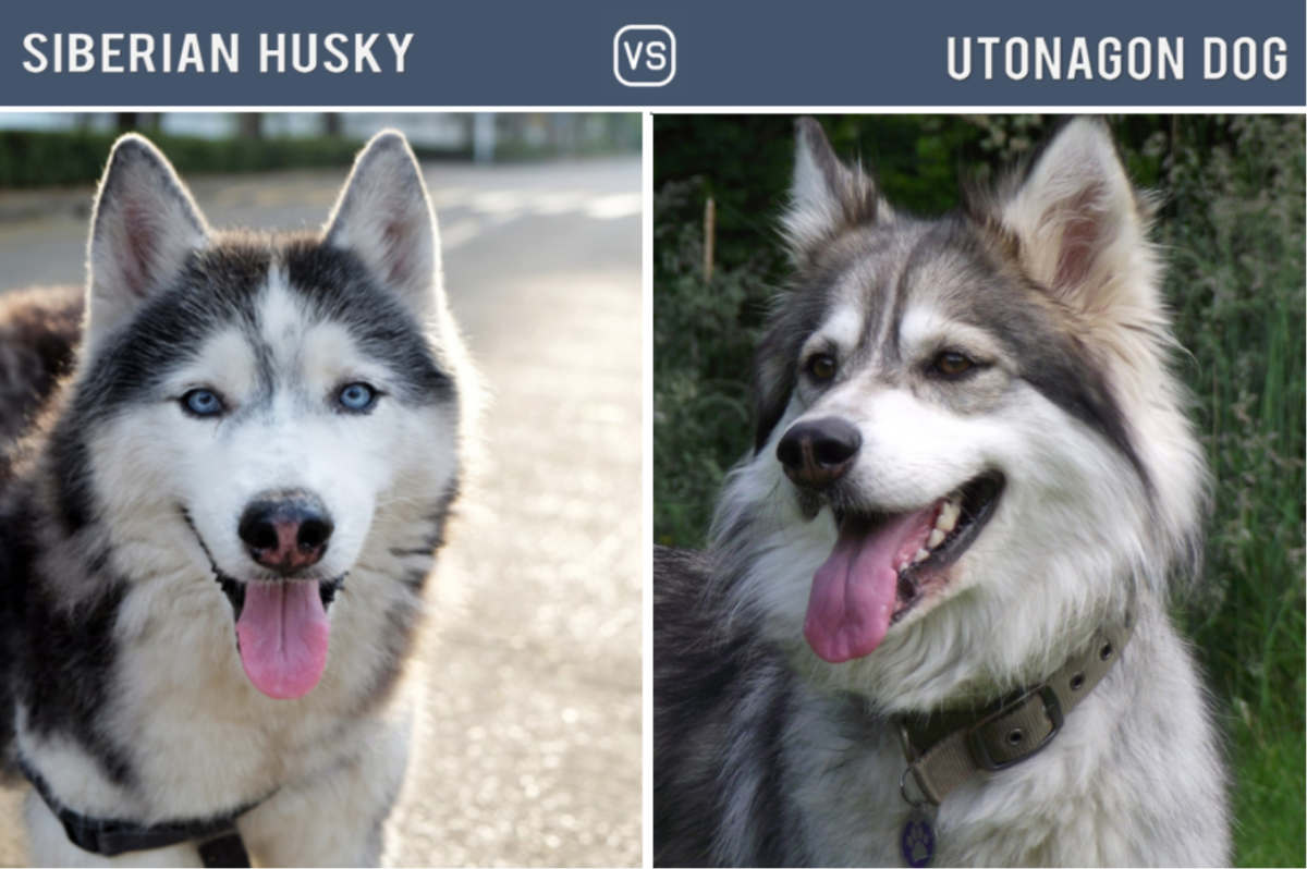 Husky Vs Utonagon Dog