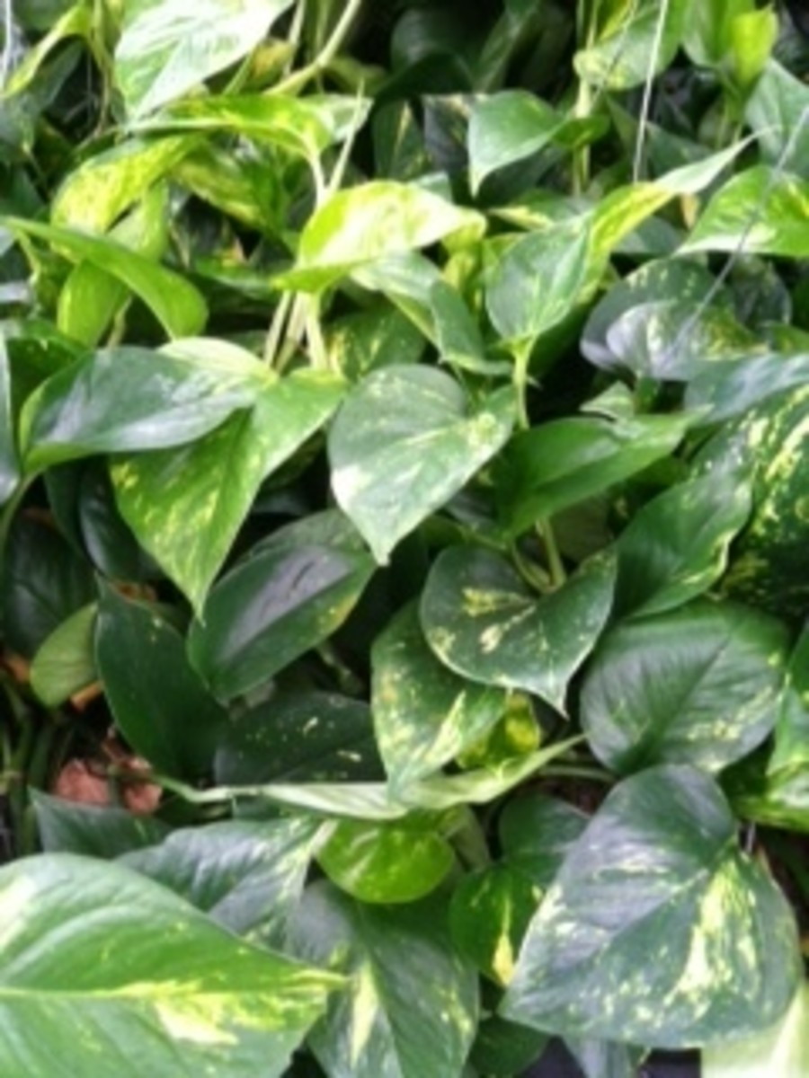 Caring for Pothos; Devils Ivy,
