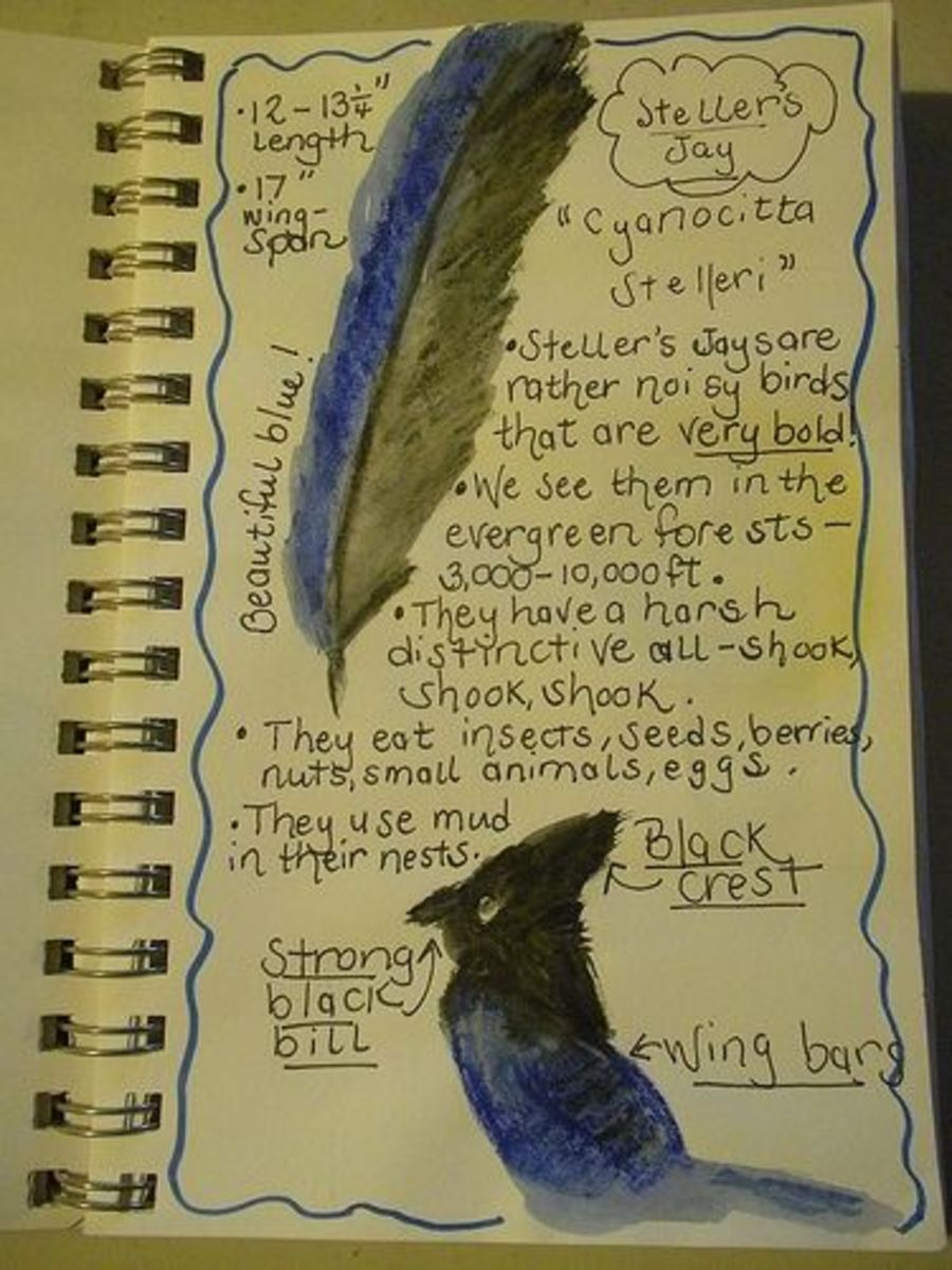 Steller's jay nature journal