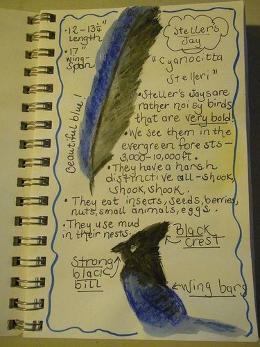 Steller's jay nature journal