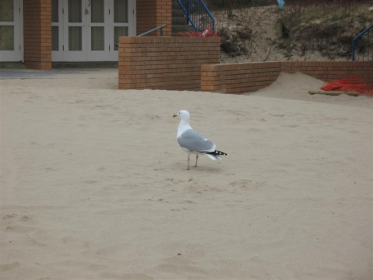 A Seagull at Sandbanks Pavilion enjoying sand blown in front of some beach huts.