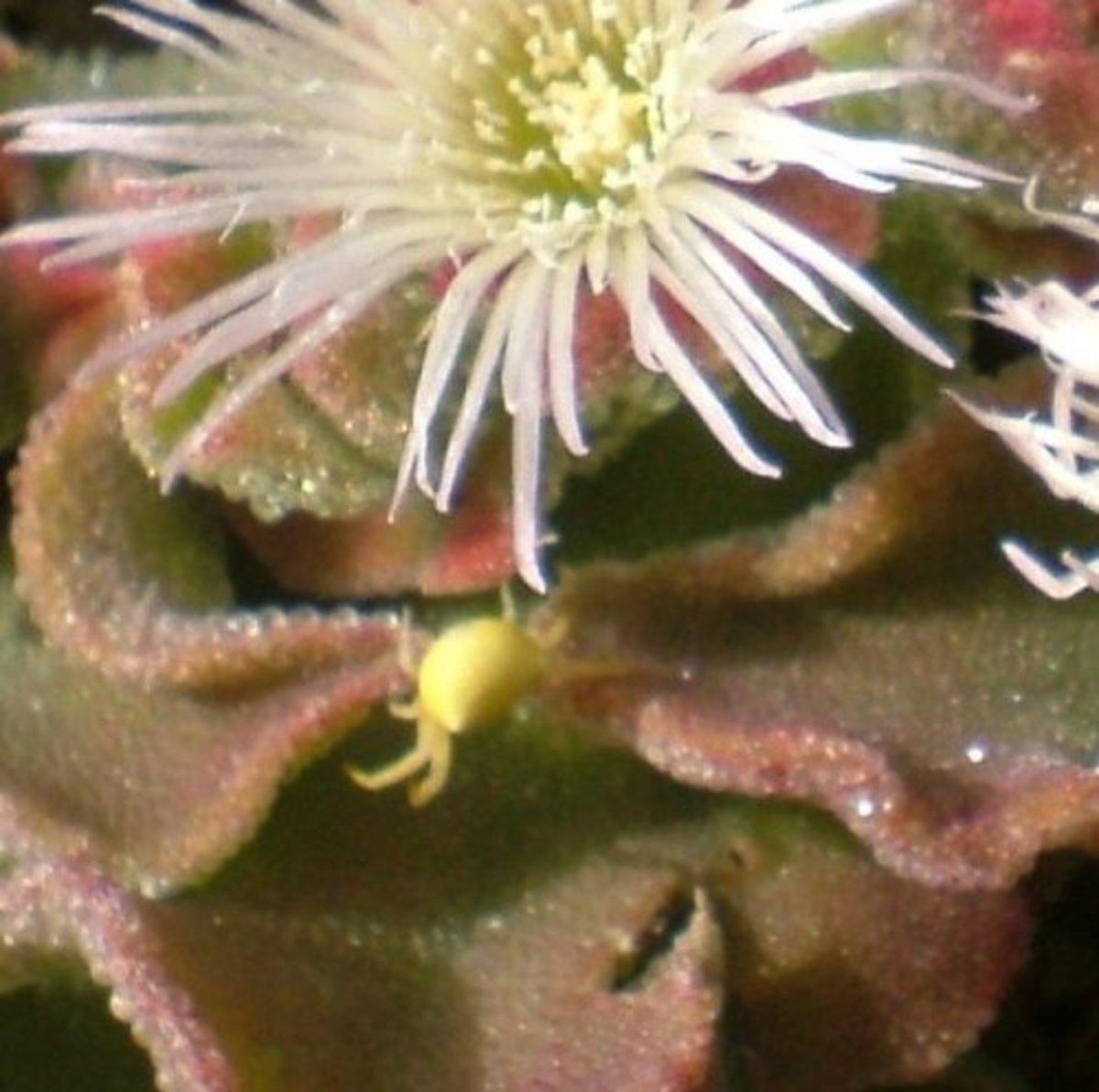 Crab spider on Ice Plant