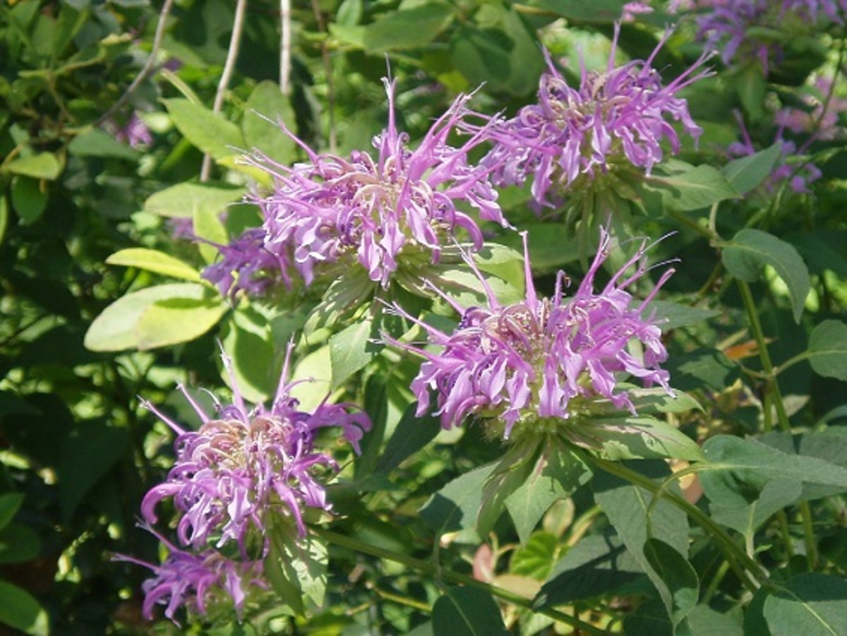 Monarda fistulosa grows well in Louisiana. It is a wonderful pollinator plant for native bees and butterflies.