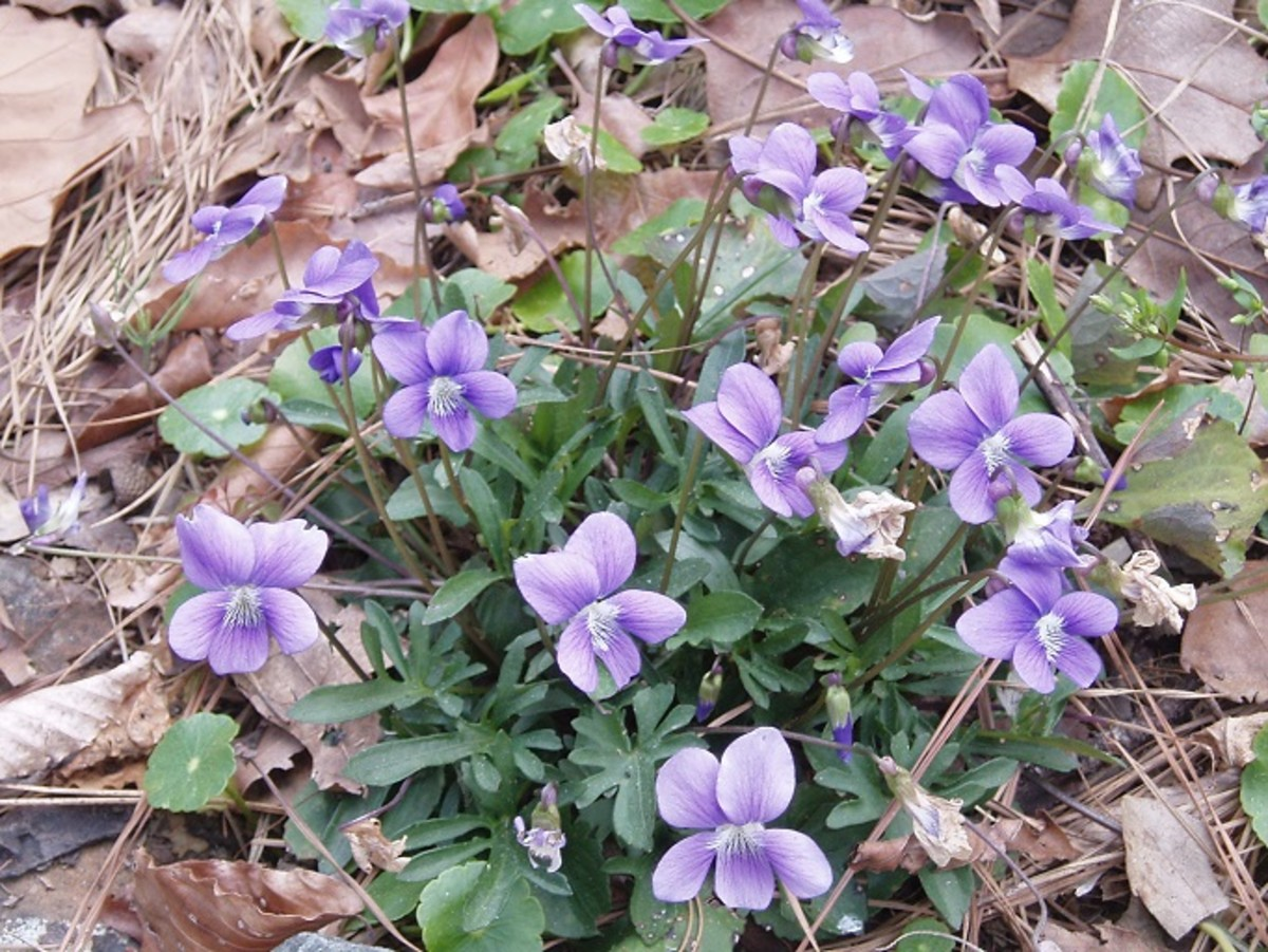Early violets have many flowers and provide delicious leaves for the first salad of spring.