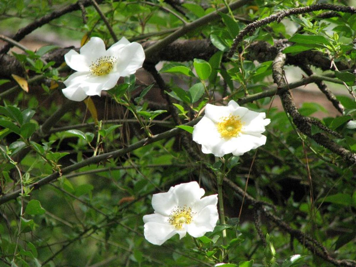The Cherokee rose was introduced from China and now grows in giant prickly mounds high in the trees in woods along highways.