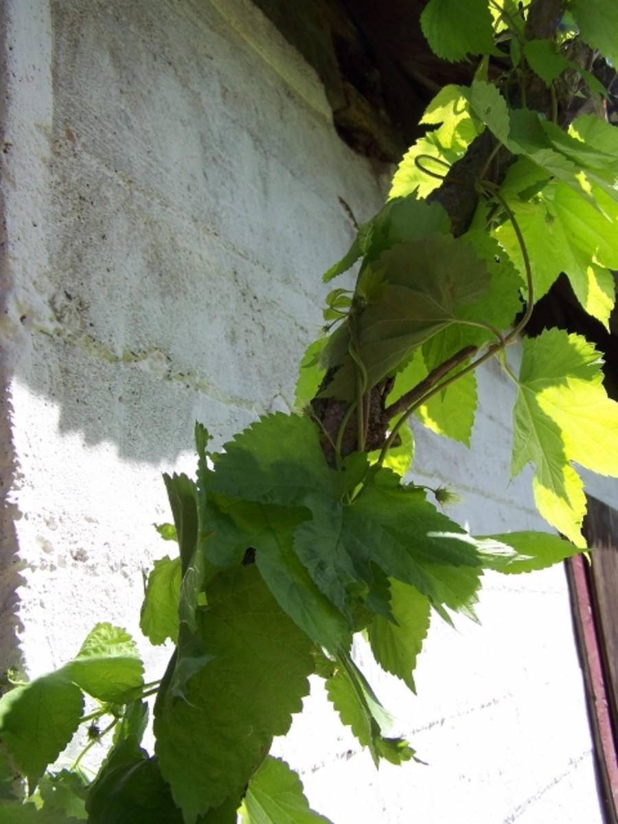 name-this-vine