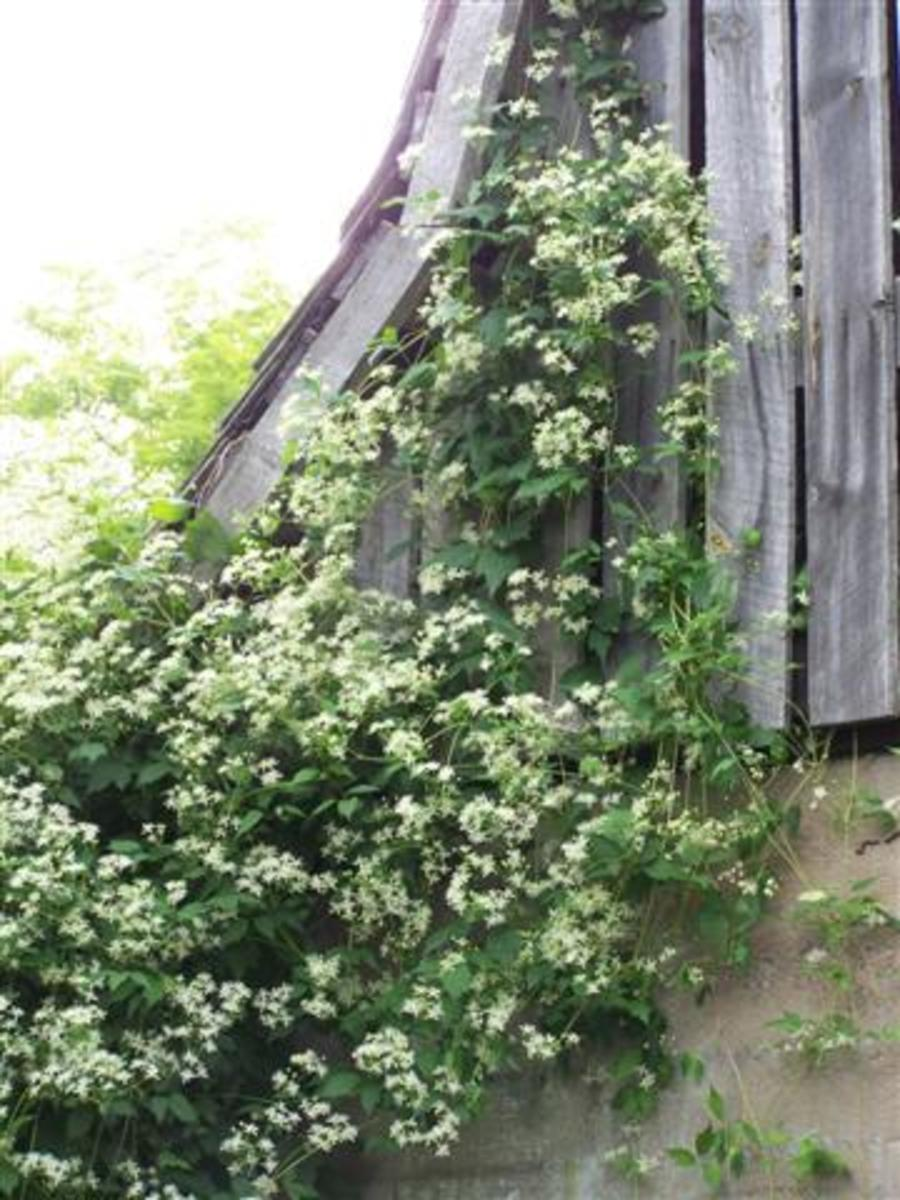 Name This Flowering Vine? It's been named! Is it Silver Lace Or A Clematis?