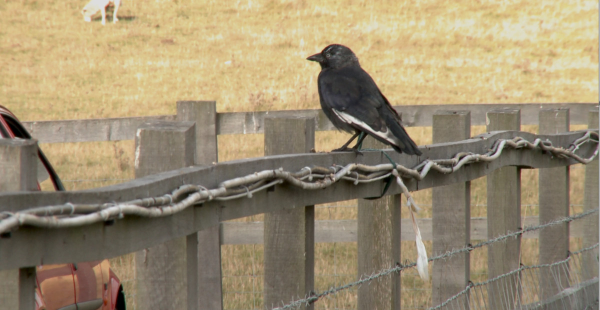 This is the very black and white bird that appears at Stonehenge. Photograph by Vivian Thomas.