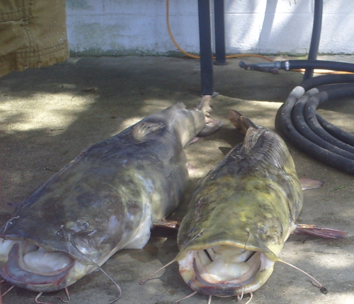 How To Catch Big Catfish Part 1 - Where and When to Catch ...