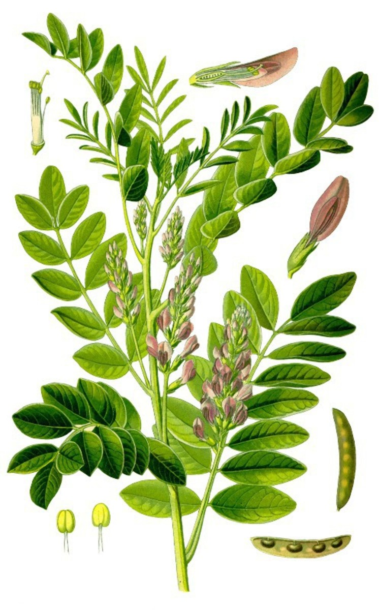 The Licorice Plant - Glycyrrhiza Glabra