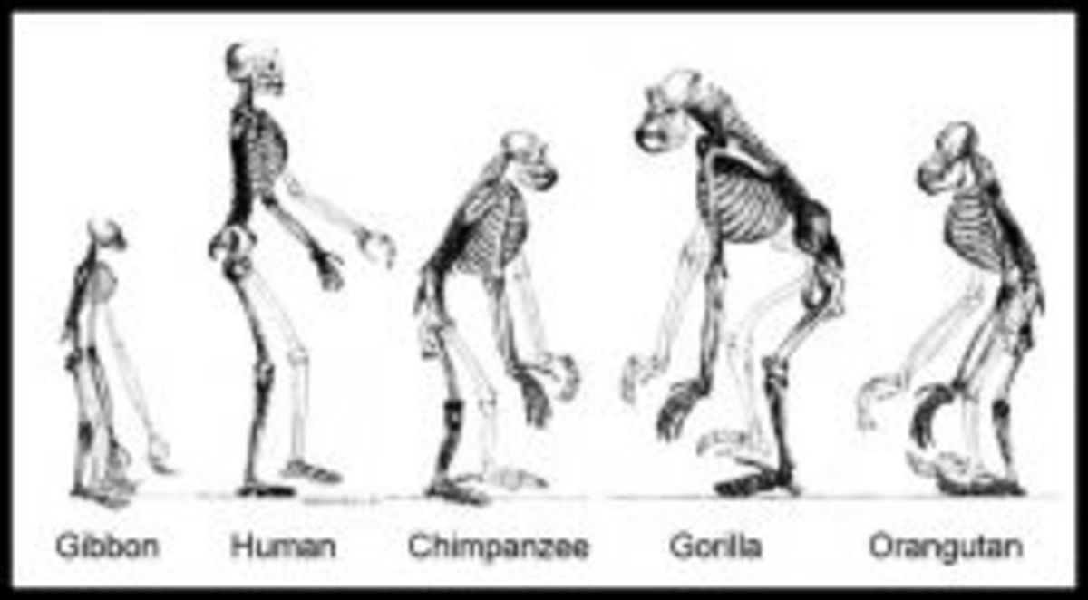 Ape Skeletons, image uploaded by Tim Vickers
