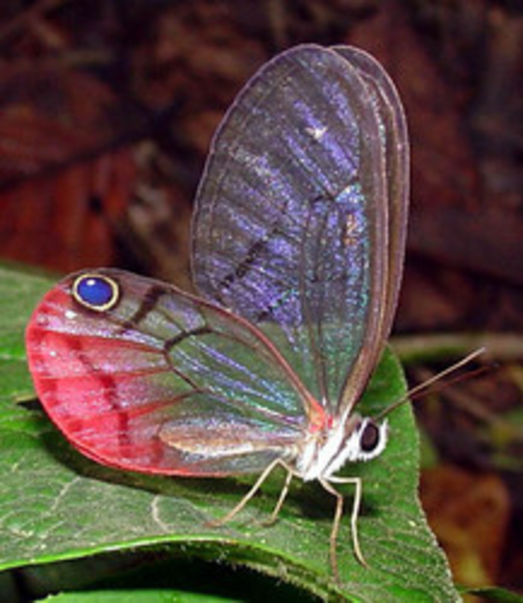 Some Important Species of Insects in Amazon Rainforest