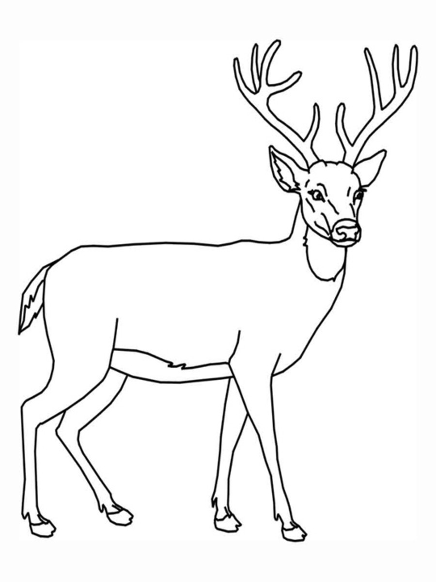 Whitetail Deer Coloring Pages Images amp Pictures Becuo