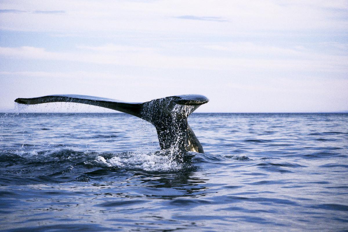 Kulu - A Whale of a Story