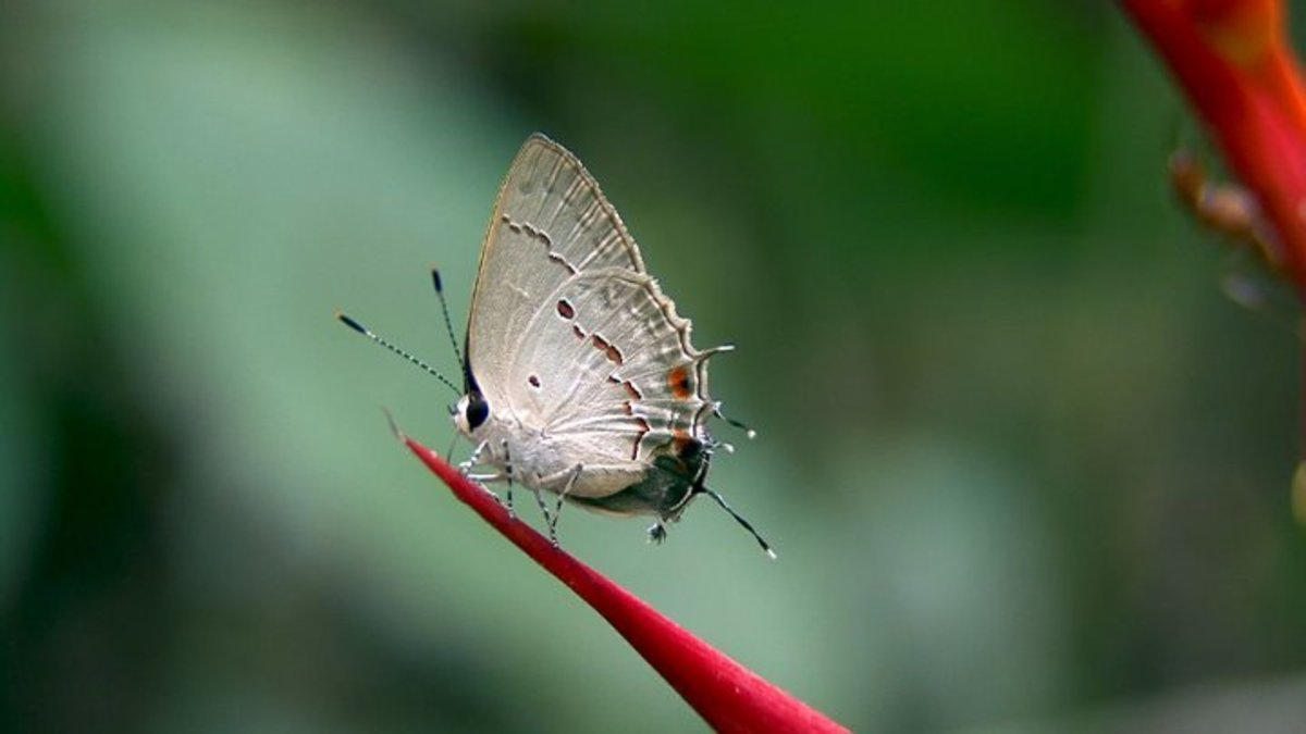The Night Butterflies of Bali
