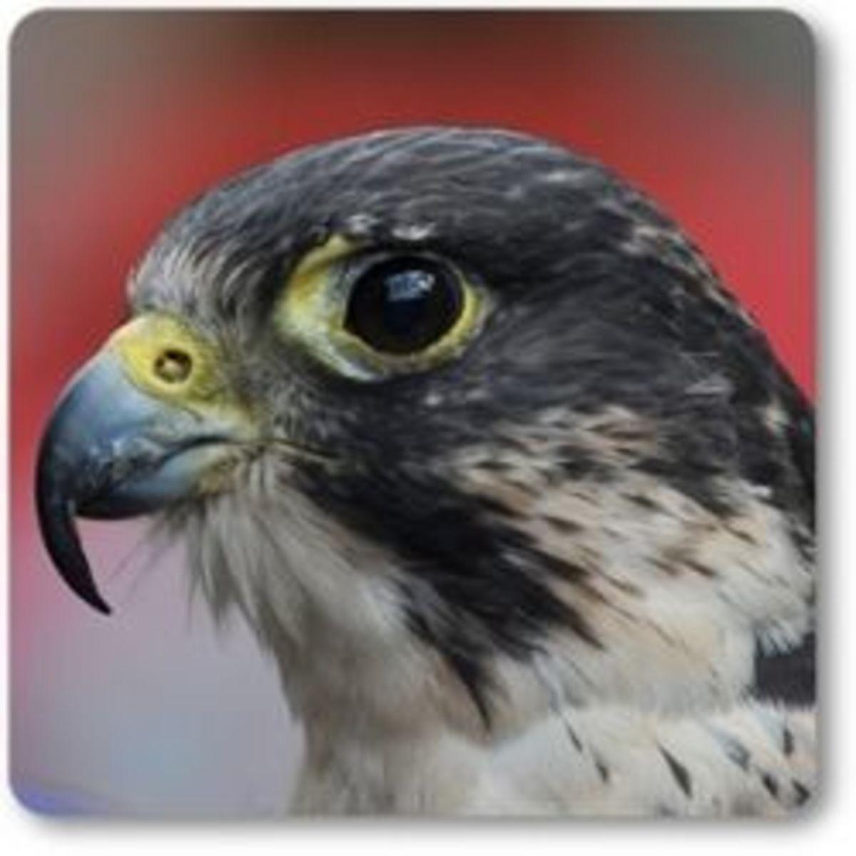 Falcon - Wild Bird