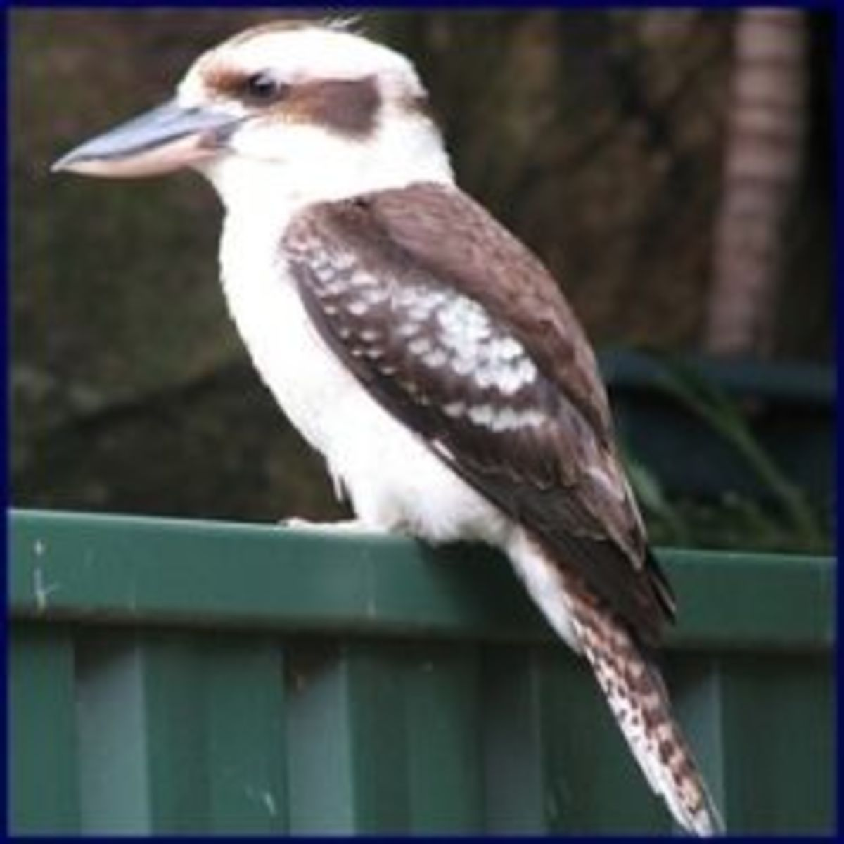 Kookapurra - The Laughing Bird