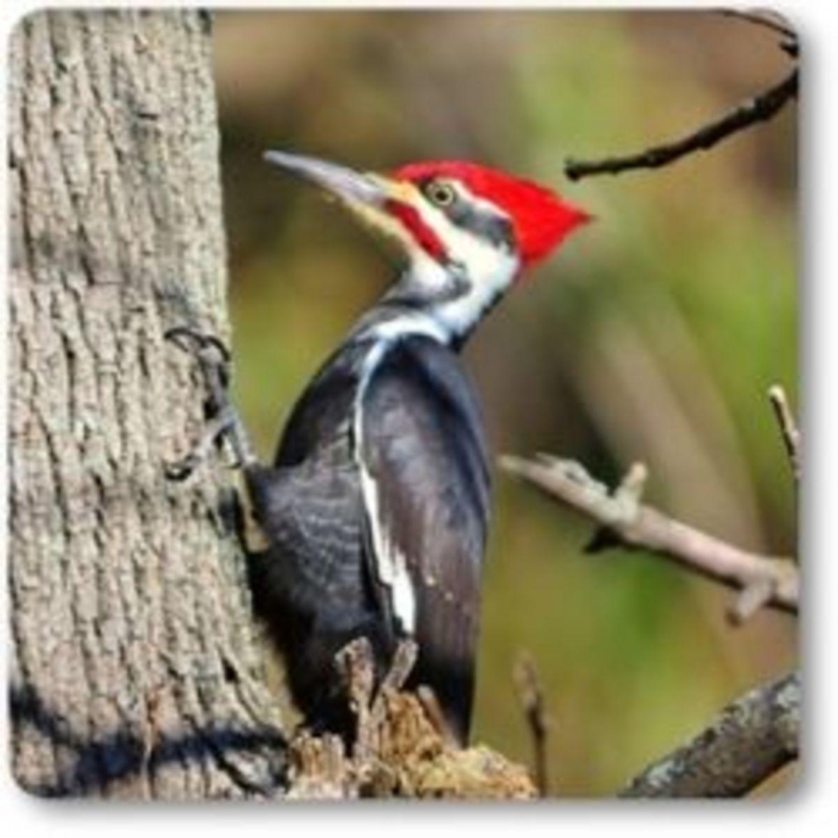 The Woodpecker bird