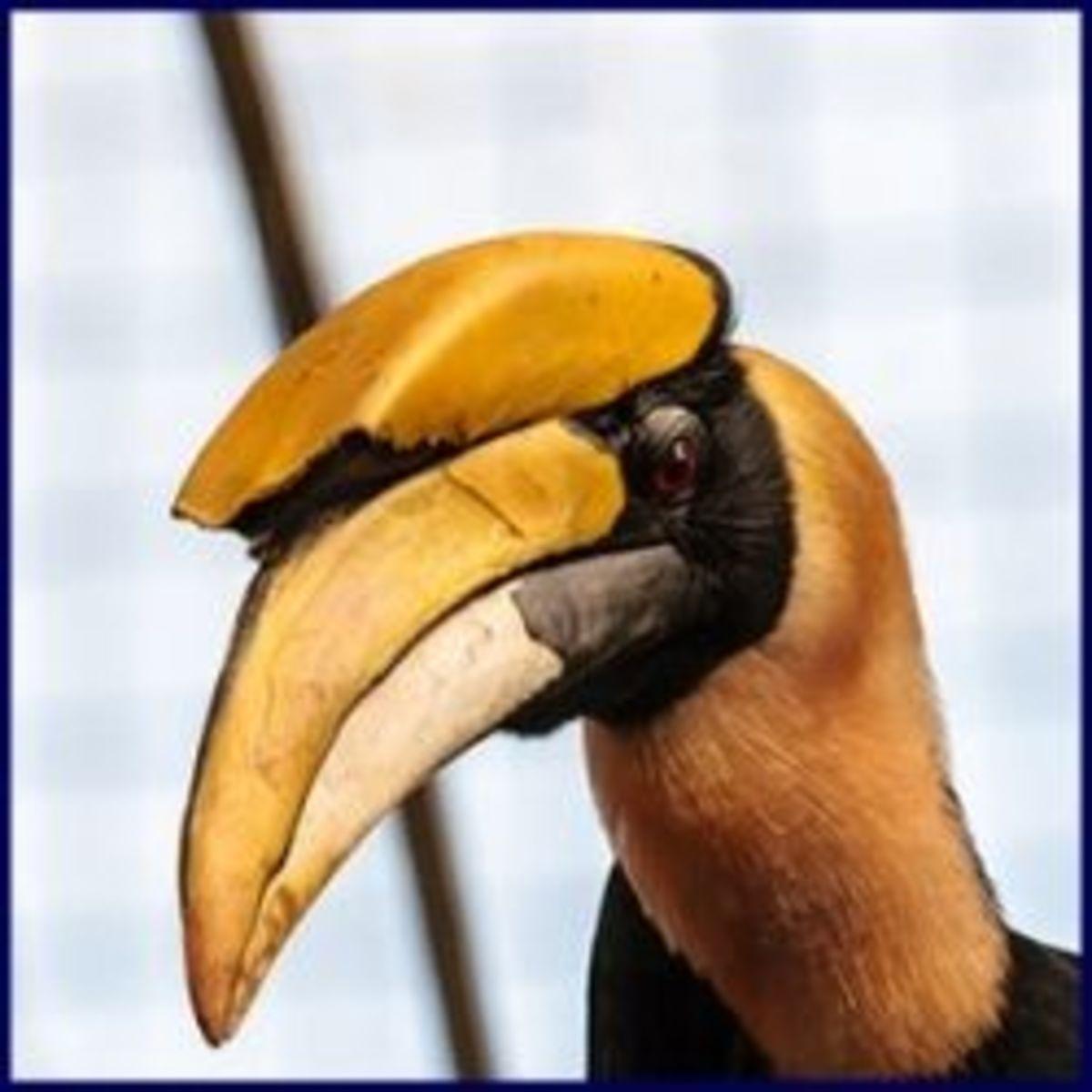 The Great Hornbill Bird