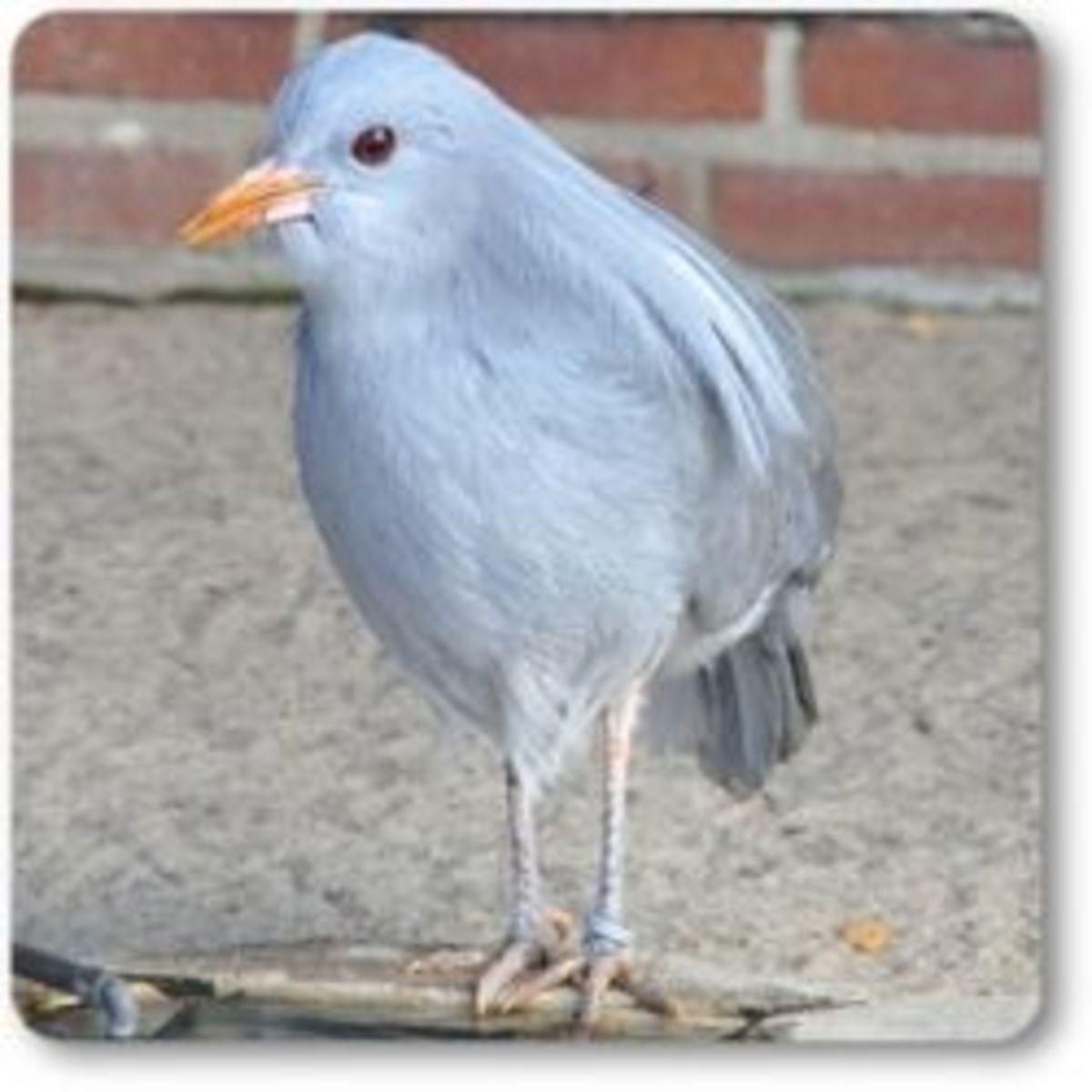 The Kagu  bird.