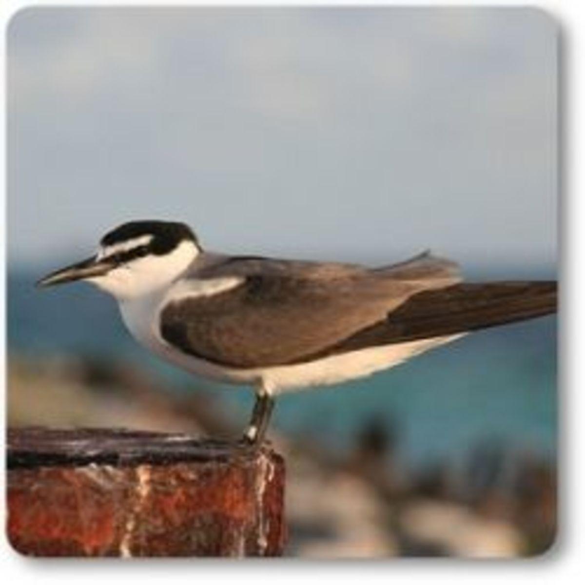 Sooty Tern the sea bird