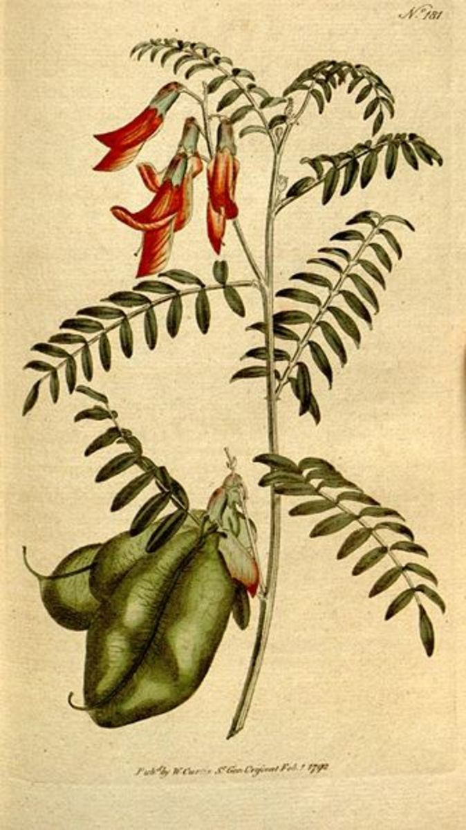 Sutherlandia frutescens illustration