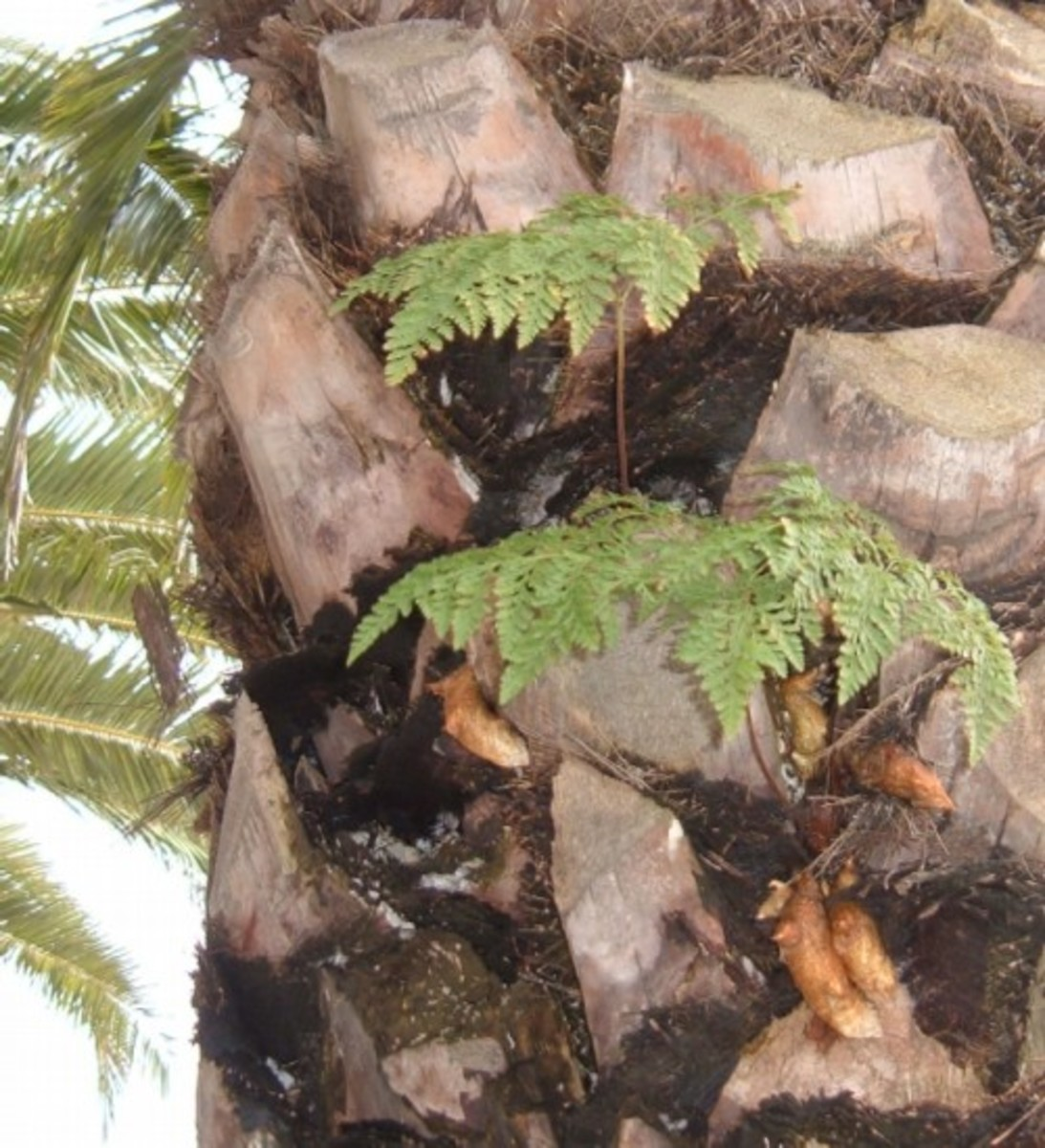 Tenerife epiphytes grow in Canary Islands palm trees