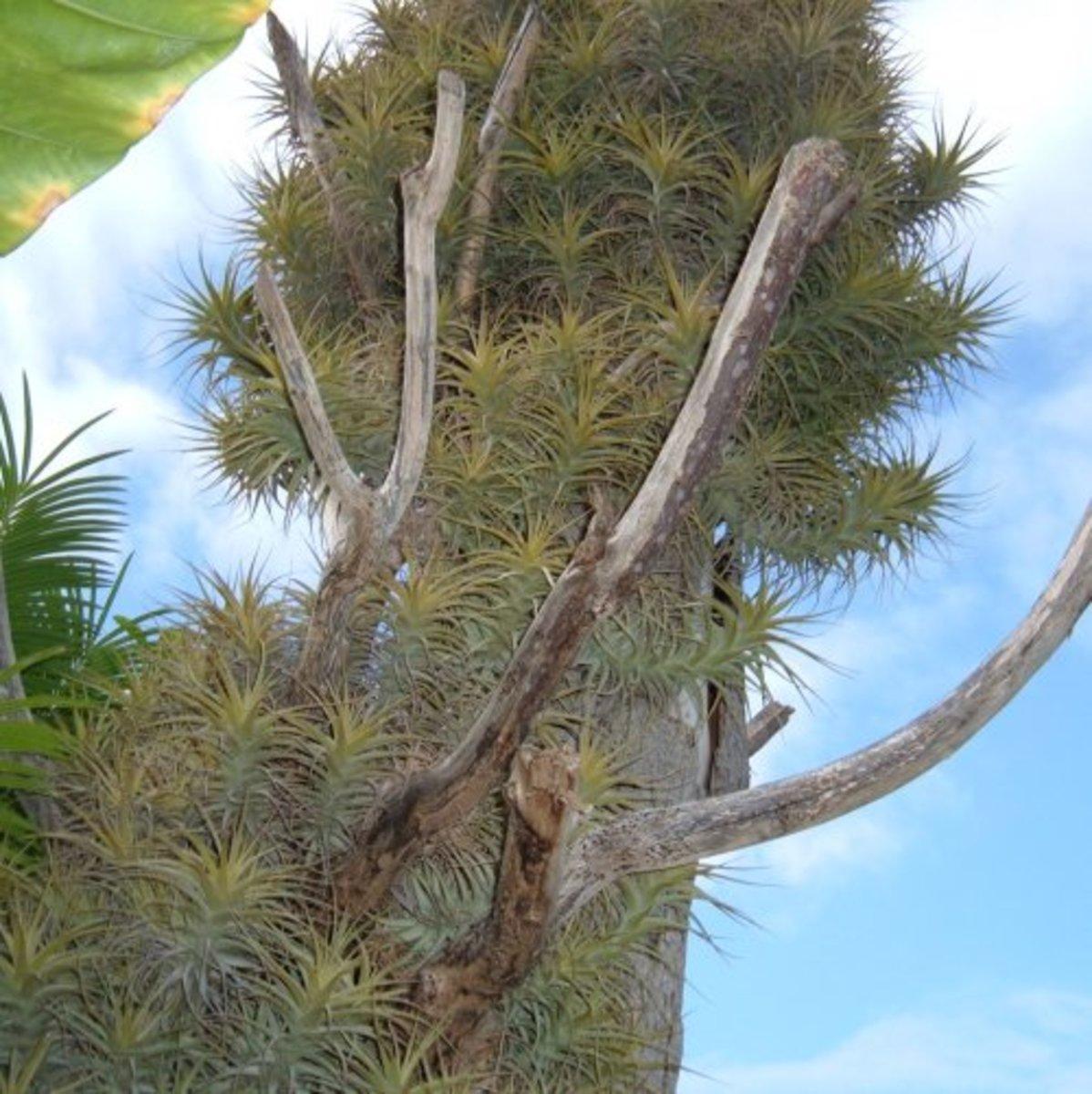 Air Carnation (Tillandsia aeranthos)