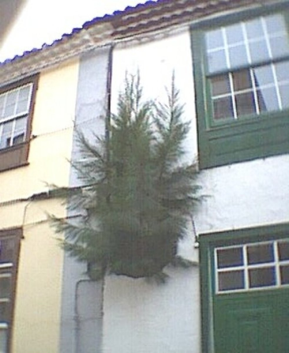 Tree in a wall in La Laguna
