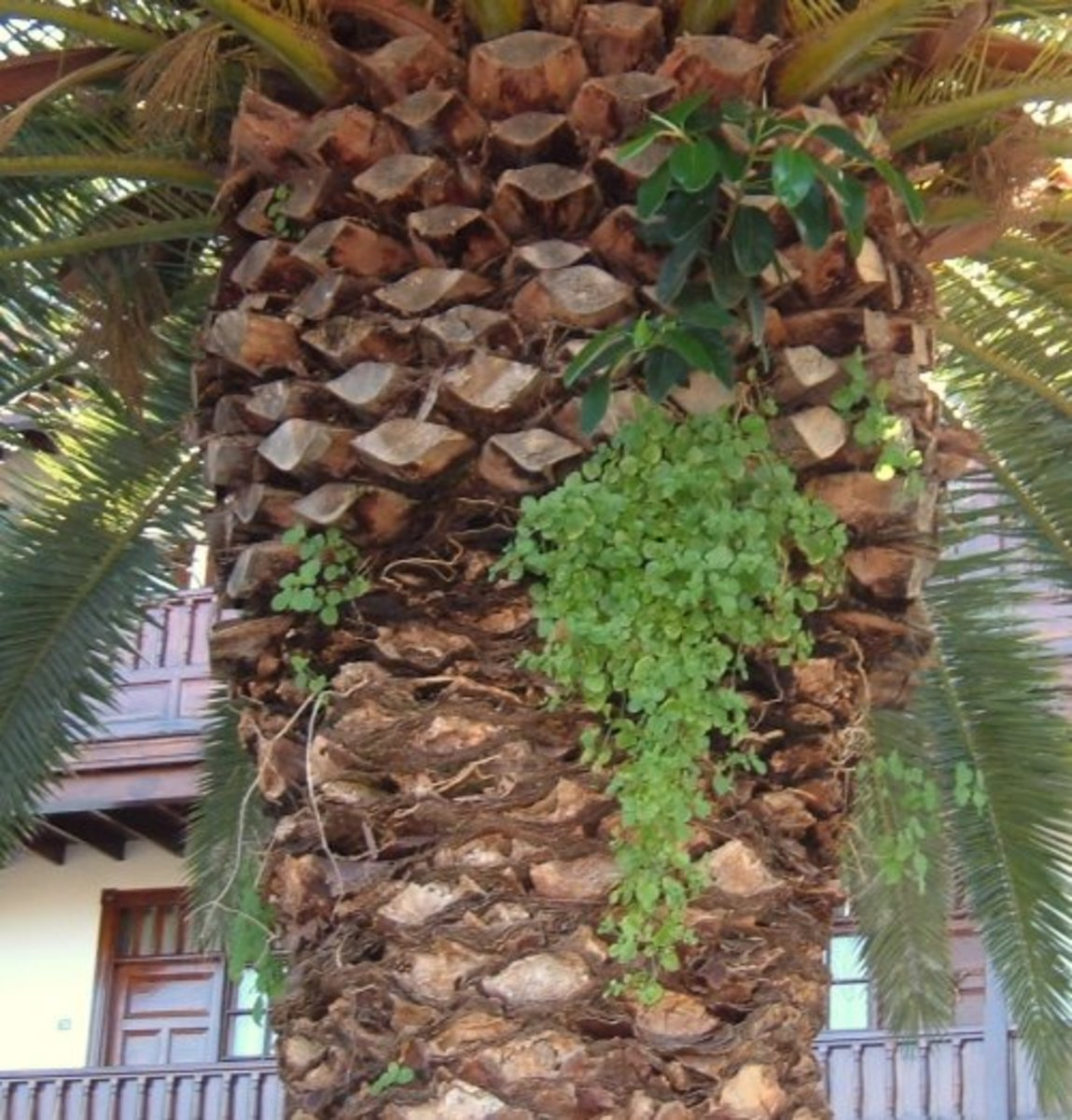 Epiphytes on a palm