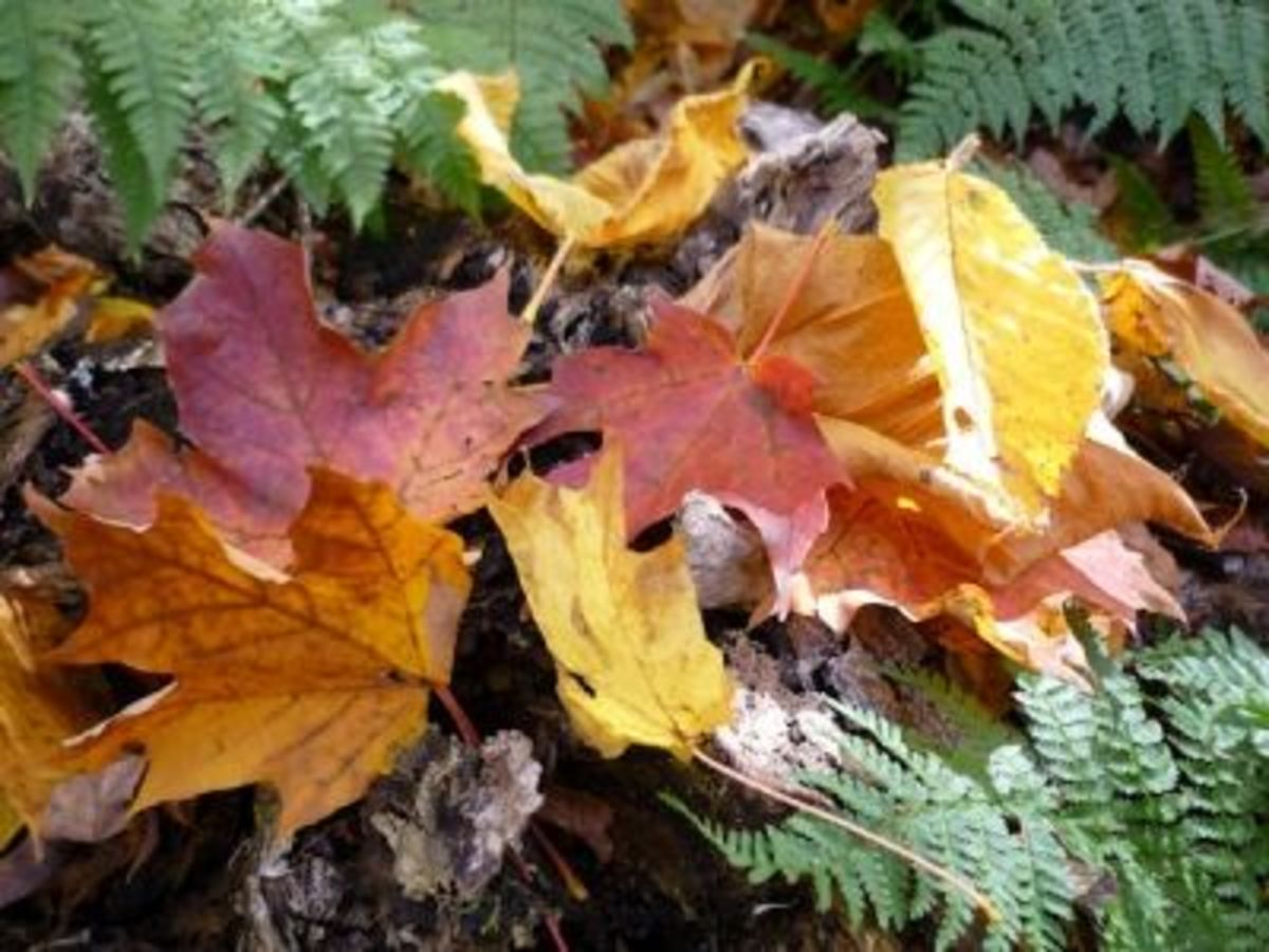 Colorful fall foliage,  found on Mount Killington in late September