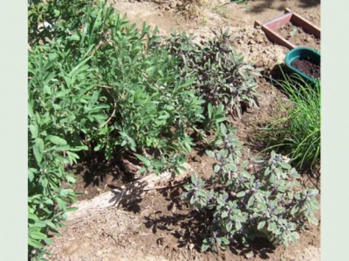 Garden Sage, Purple Sage and Varigated Sage