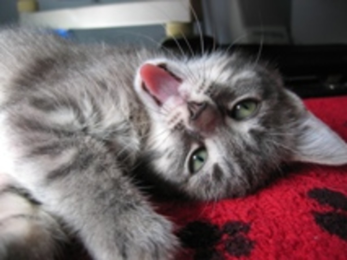 Kitties with cerebellar hypoplasia can be very happy cats!