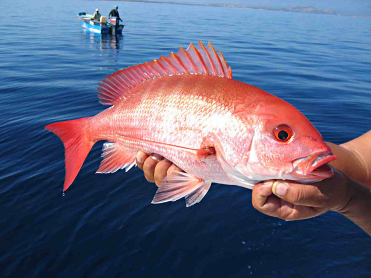 How to buy red snapper fish for Fish to buy