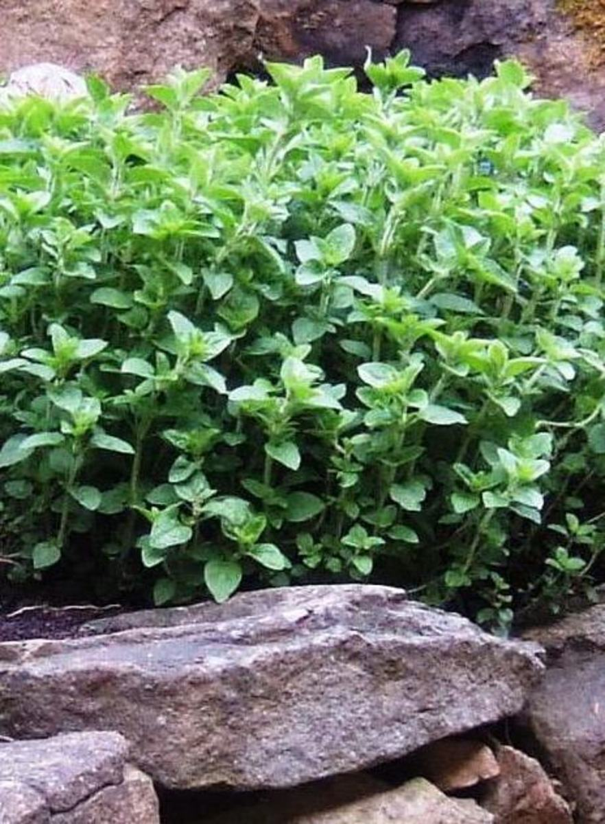 Oregano in my herb rock garden, full and bushy, ready to be harvested for drying. Although this plant is green through the winter, the leaves have lost some flavor. By cutting it just before it blossoms, the dried herb has the best flavor. Once it ha