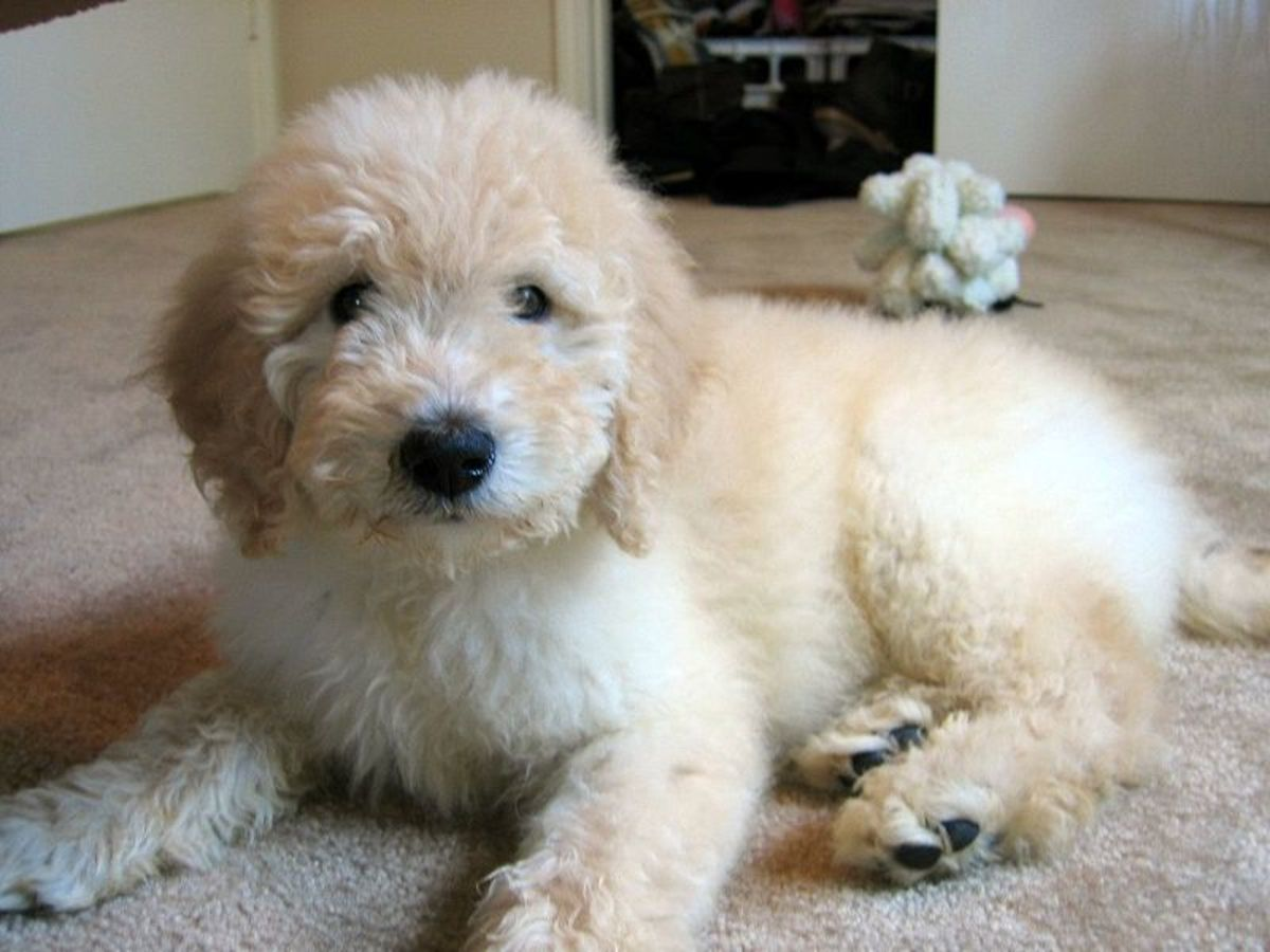 goldendoodle pictures. goldendoodle dog