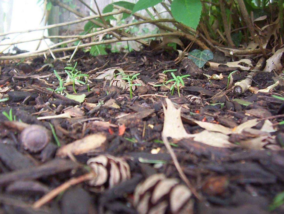 Dawn redwood seedlings and cones