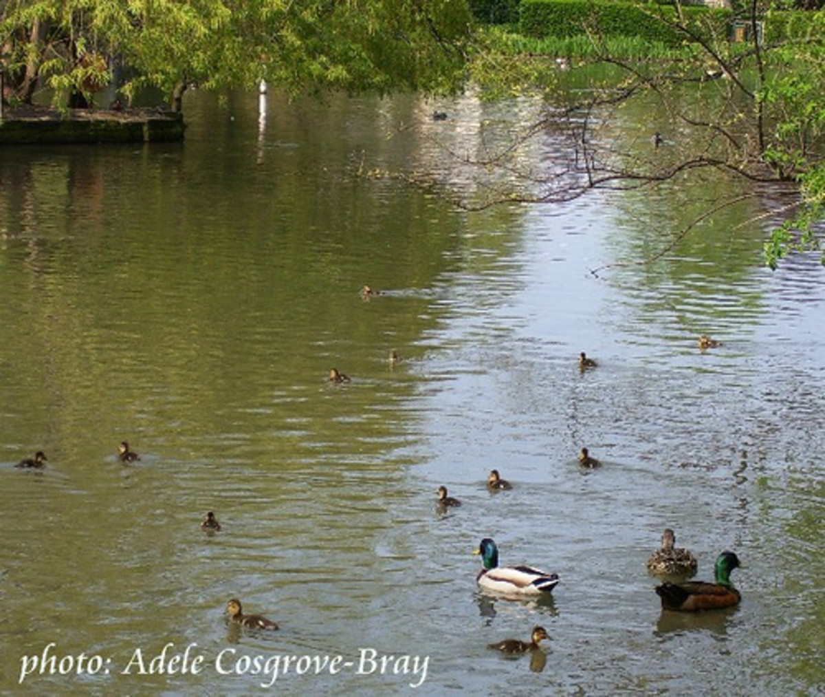 Ducklings in springtime!