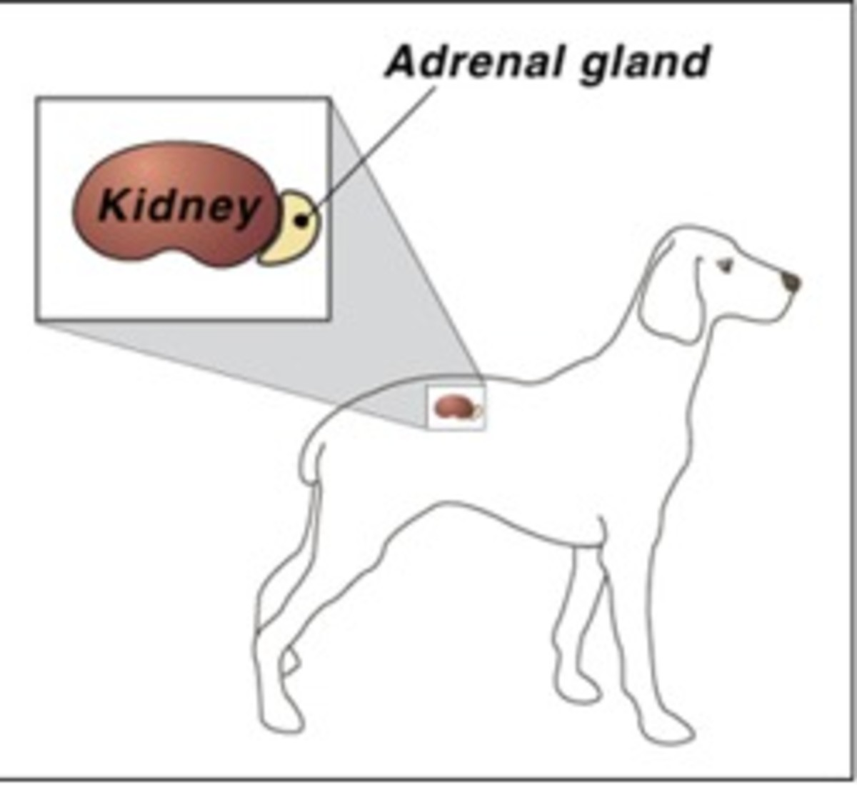 What is Addison's Disease in Dogs? Signs and Treatment