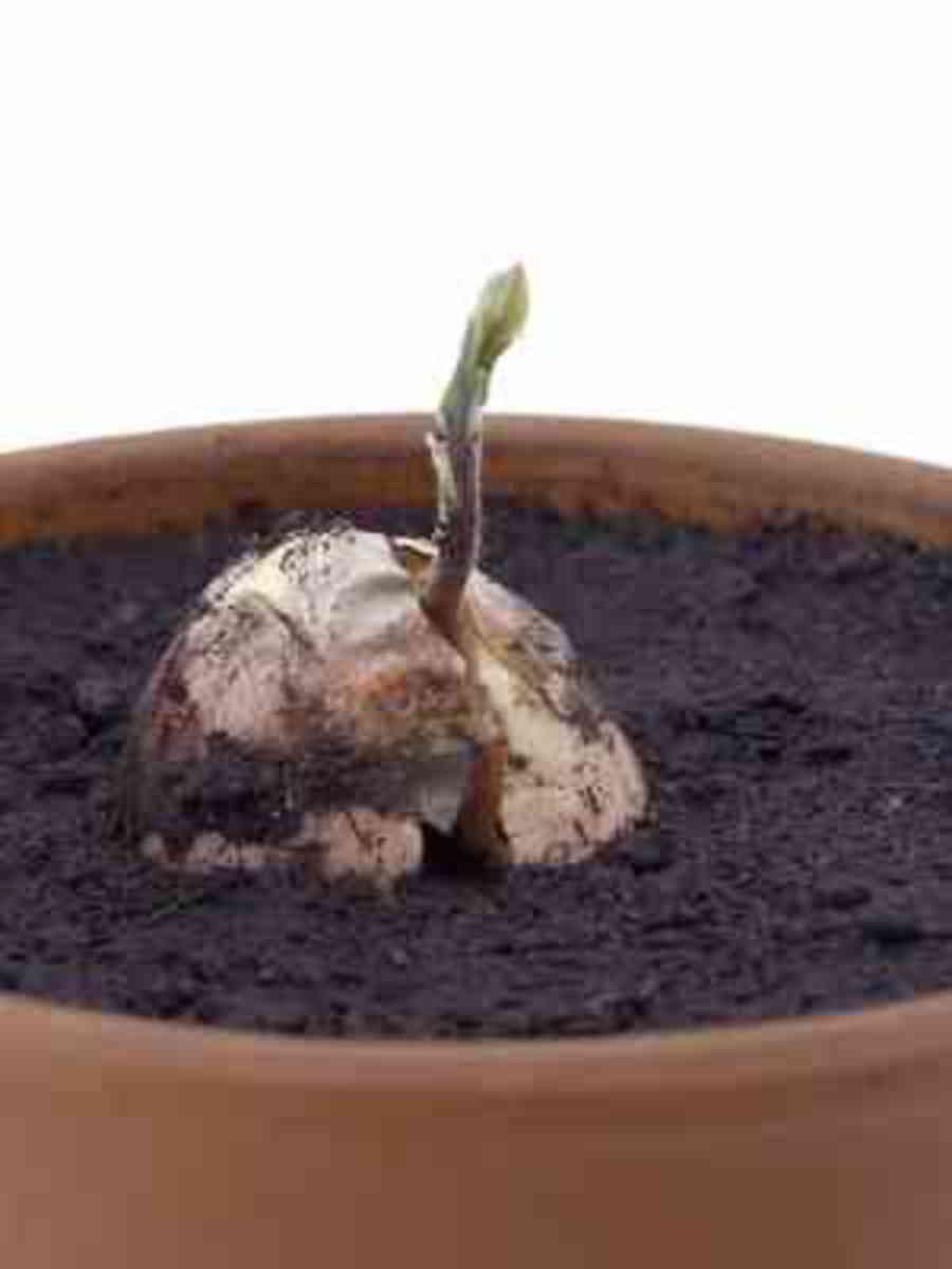 Avocado Seedling