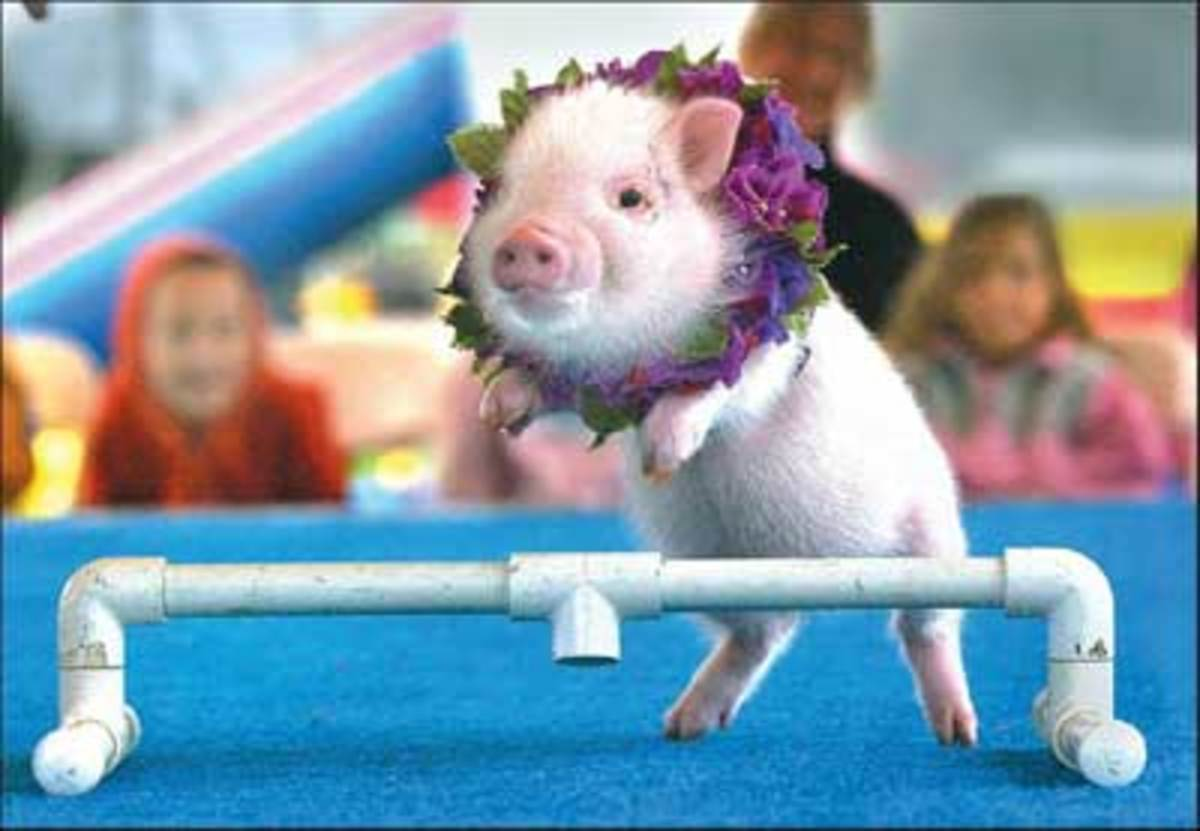 baby pot bellied pig