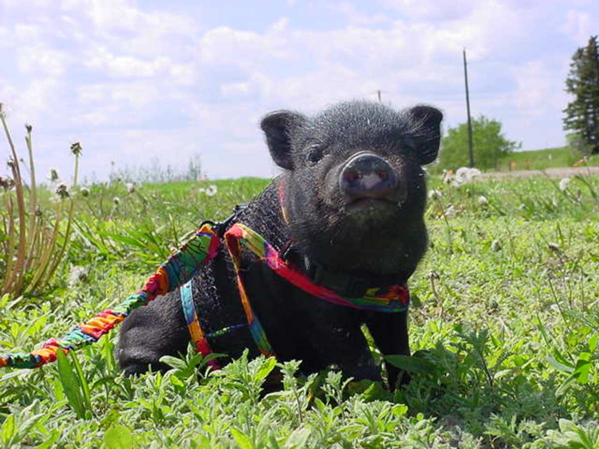Exotic pets - training your pot belly pig