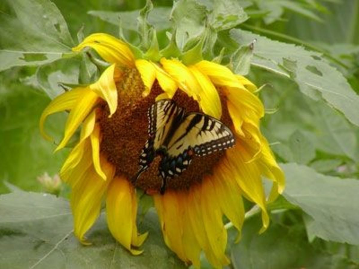 Yellow butterfly on giant sunflower