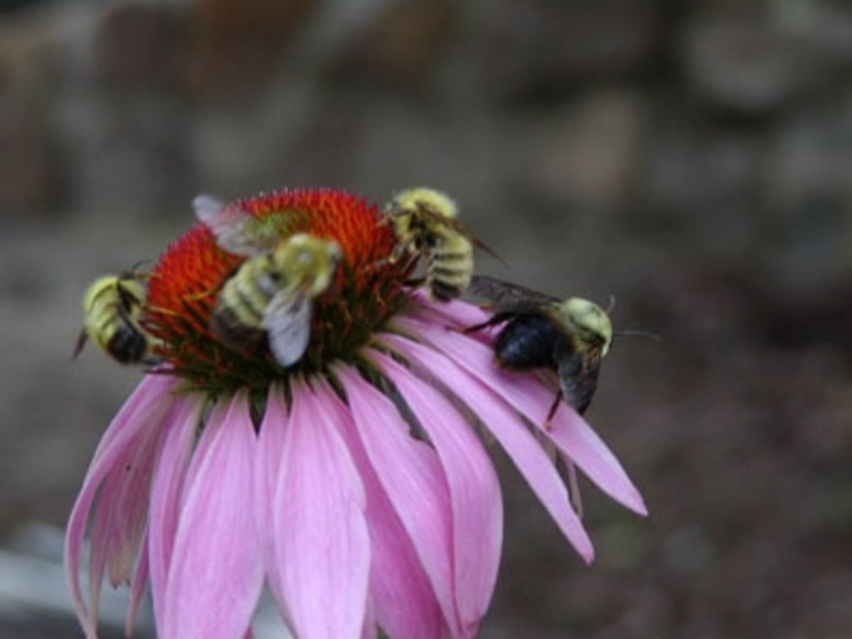 Honey bees gather pollen from a purple coneflower (echinachea) blossom.
