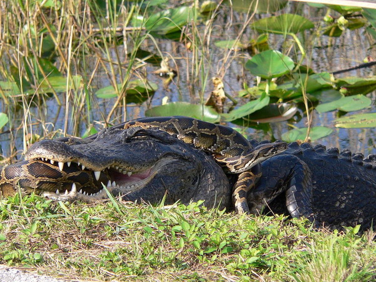 Alligator and Python in Florida Everglades