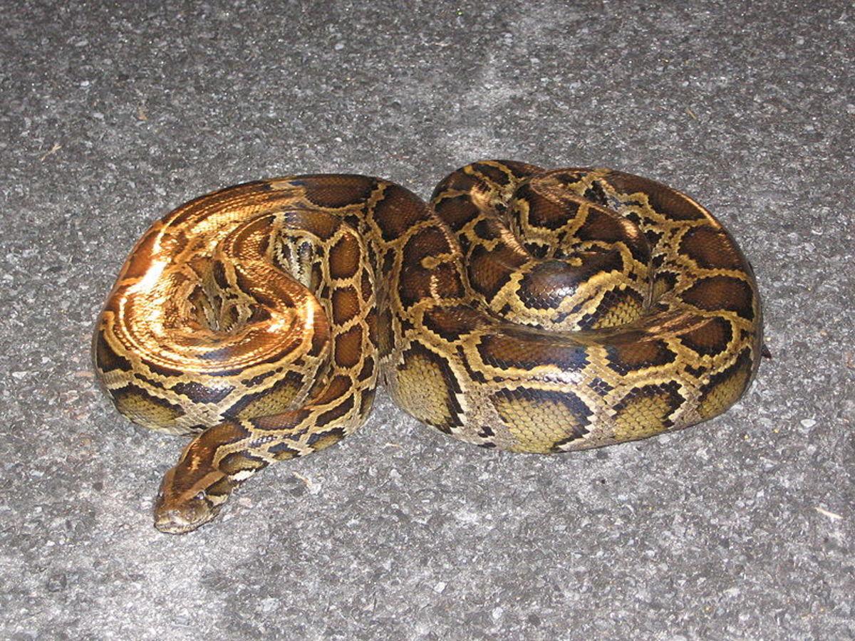 Giant Pythons - Invasive Species in the Florida Everglades