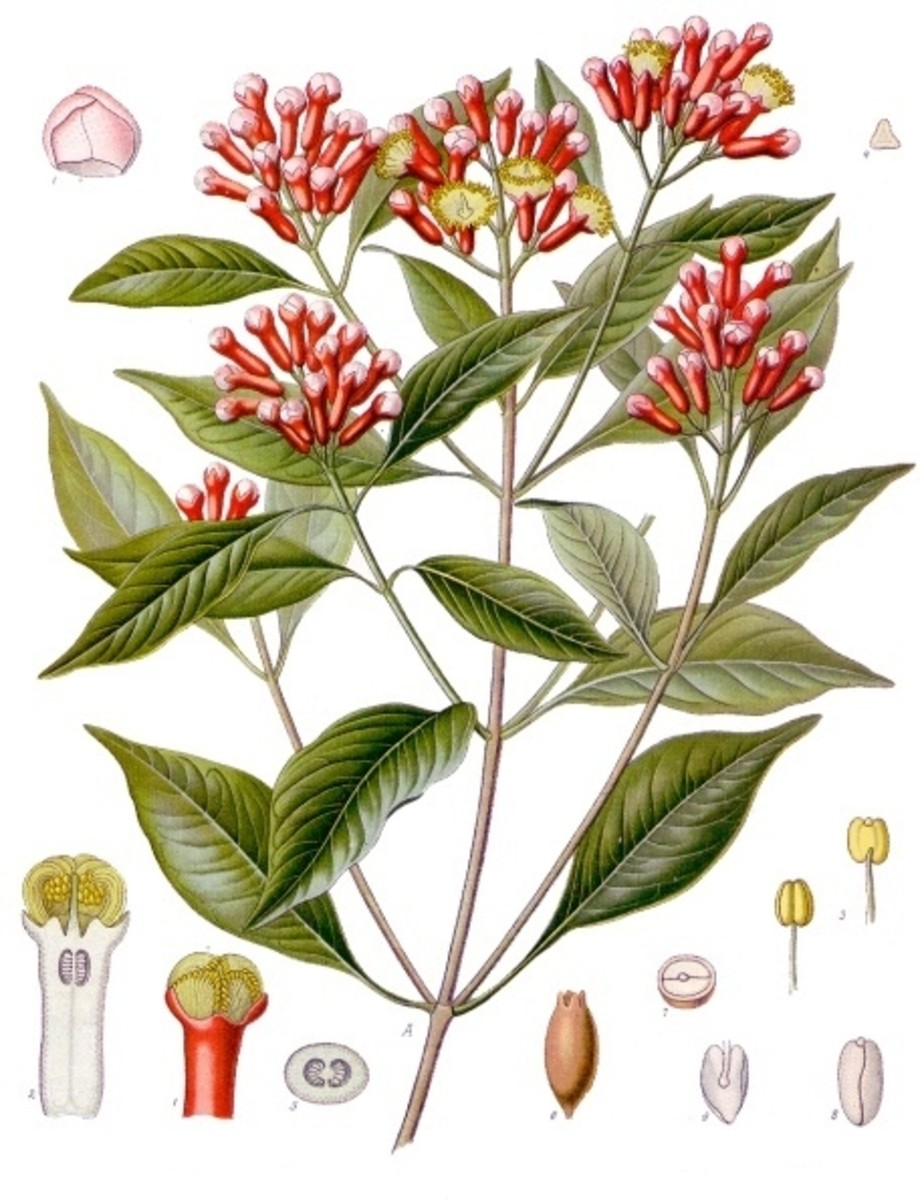 Botanical drawing of cloves and the clove plant, from Köhler 1887 book on medicinal plants.