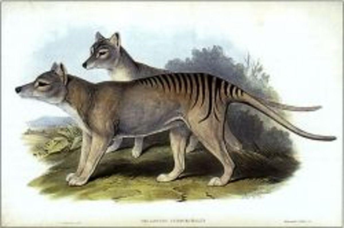 tasmaniantiger